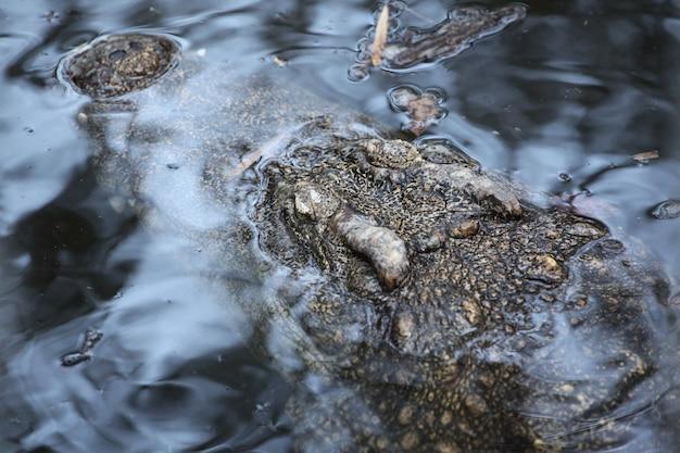 Krokodyl głowy pod wodą