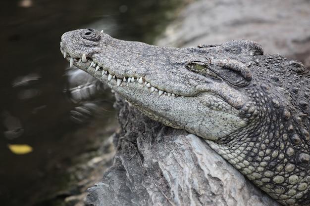 Krokodyl głowy z bliska