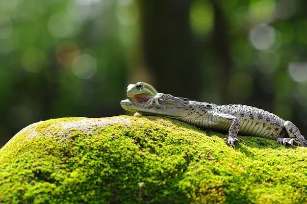 Krokodyl i żaba na omszałej skale krokodyl z żabą