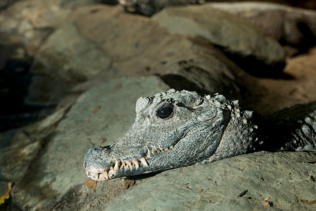 Krokodyl karłowaty z afryki zachodniej, osteolaemus tetraspis