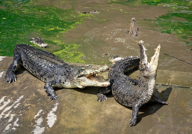 Krokodyl na farmie.