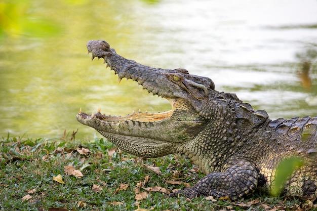 Krokodyl na trawie