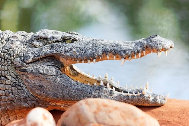 Krokodyl odpoczywa na skale z otwartymi ustami