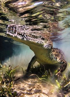 Krokodyl pływa pod wodą. aligator w płytkiej wodzie wygląda z wody. życie morskie pod wodą w oceanie. obserwacja świata zwierząt. przygoda z nurkowaniem w morzu czerwonym, wybrzeże afryki
