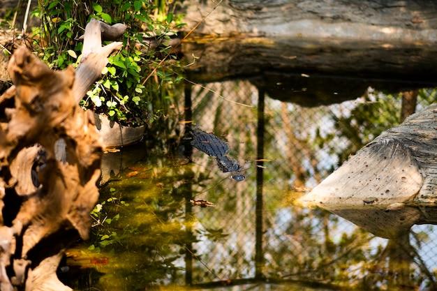 Krokodyl pływa w symulowanym stawie wewnątrz klatki.