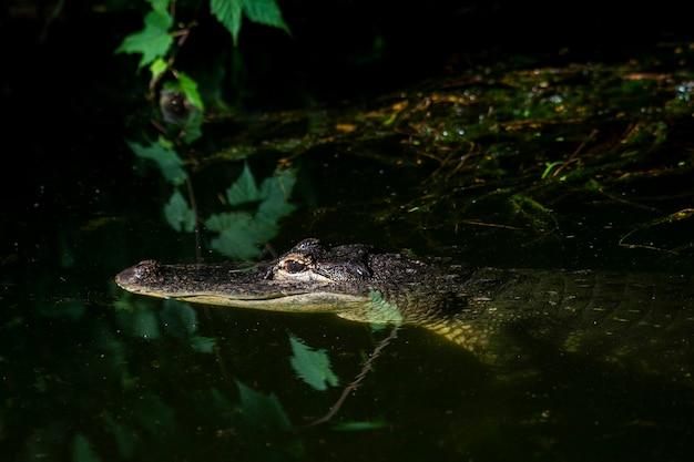 Krokodyl (podrodzina crocodylinae) lub prawdziwy krokodyl to duże gady wodne, które żyją w tropikach w afryce, azji, obu amerykach i australii