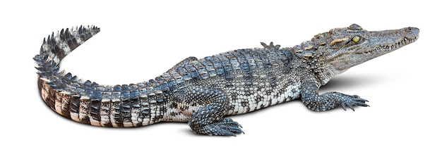 Krokodyl przyrody na białym tle