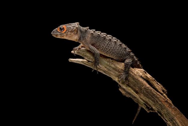 Krokodyl skink na czarnym tle