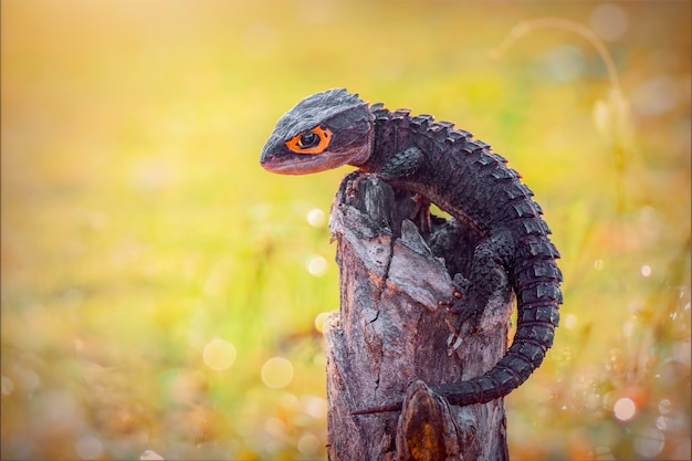 Krokodyl skink na gałązce w tropikalnym ogrodzie