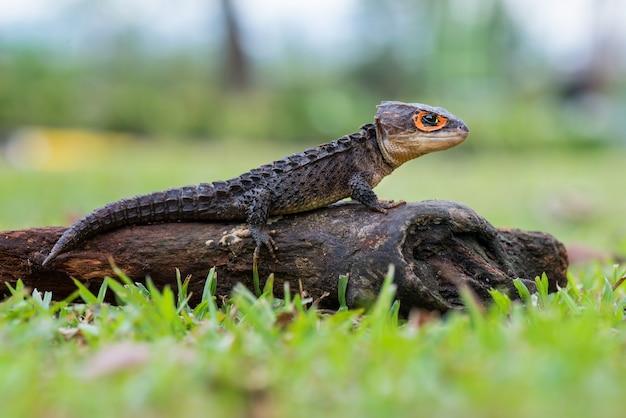Krokodyl skink na gałązkach w tropikalnym lesie