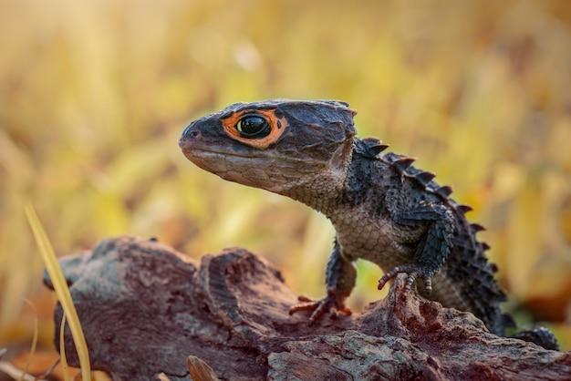 Krokodyl skink na gałązkach w tropikalnym ogrodzie