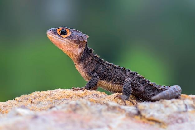 Krokodyl skink na piasku w tropikalnym ogrodzie