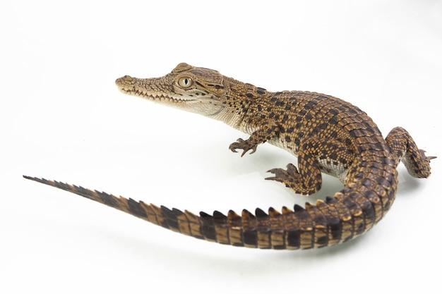 Krokodyl słonowodny dziecka na białym tle