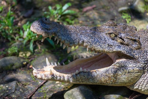 Krokodyl usta z bliska