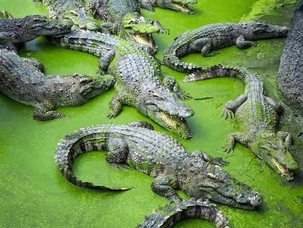 Krokodyl w naturalnej atmosferze.