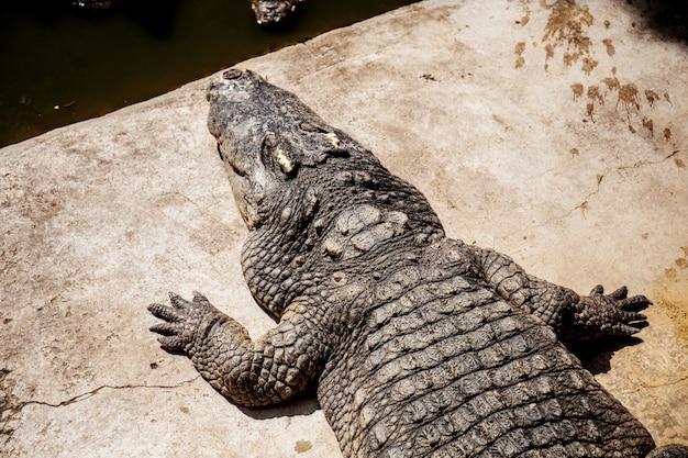 Krokodyl w stawie przy światłem słonecznym.