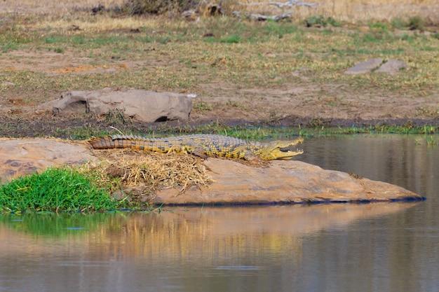 Krokodyl z bliska z parku narodowego krugera