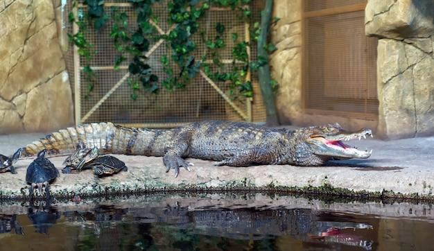 Krokodyl z żółwiami na wodzie przy zoo