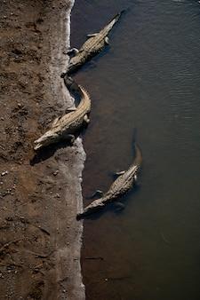 Krokodyle w rzece tarcoles, kostaryka.