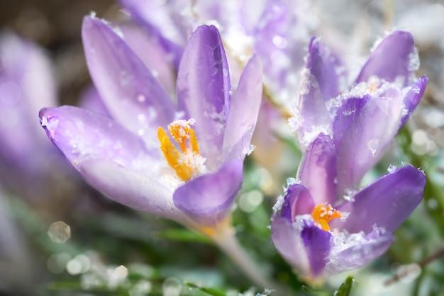 Krokus kwitnie wiosną