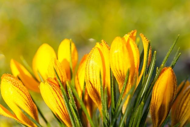 Krokus żółty w porannym mrozie
