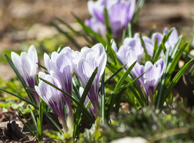 Krokusy kwitnące w ogrodzie botanicznym