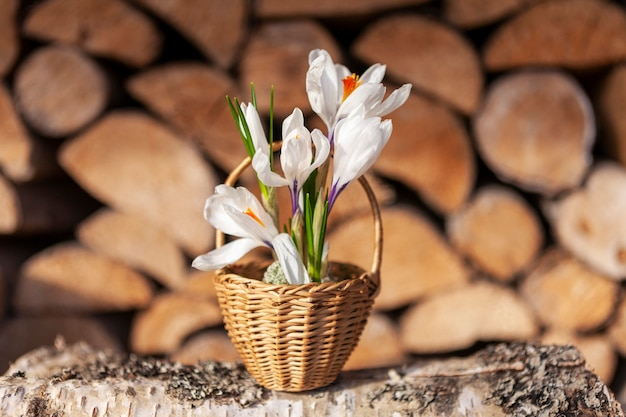 Krokusy pierwsze wiosenne kwiaty w małym koszyku