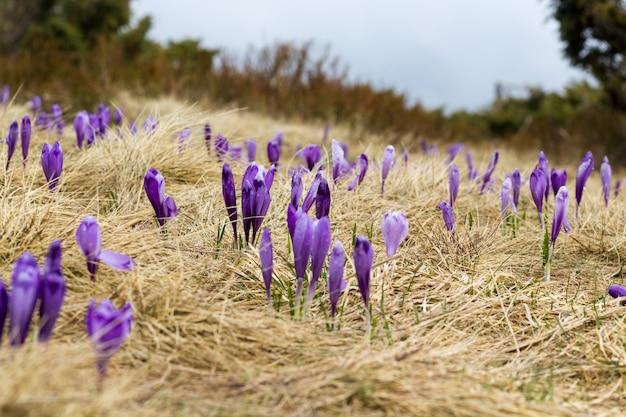 Krokusy są urządzone w fioletowych kolorach, na suchej trawie.