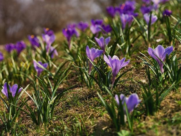 Krokusy w pogodnej łące. jasne tło wiosna.