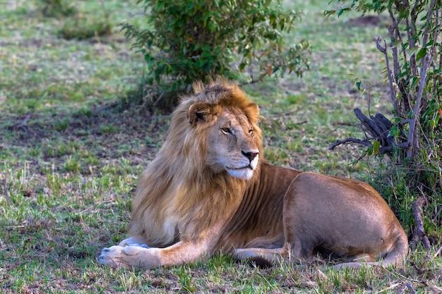 Król na trawie odpoczynek na trawie kenia afryka
