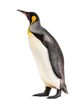 Król pingwin stojący przed białą ścianą