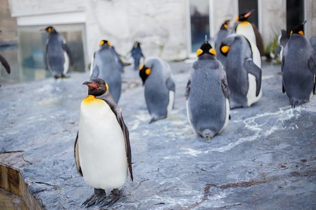 Królewiątka pingwiny w asahiyama zoo, asahikawa, hokkaido, japonia.