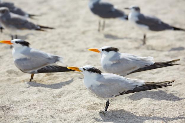 Królewscy kaspijscy terns denni ptaki w miami floryda