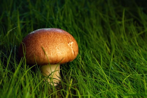 Królewskie pieczarki przy zmierzchem w trawie
