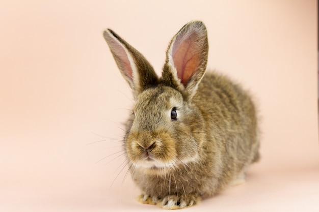 Królik na beżowym tle. wielkanocny szary zając na pastelowym różowym tle. koncepcja na święta wielkanocne. szary królik