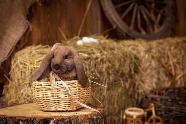 Królik rasy ram w stodole siedzi wiklinowy kosz