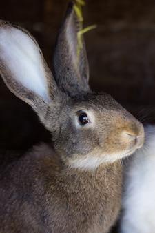 Królik z różowymi uszami na tle innych królików. biały puszysty królik siedzi na słomie