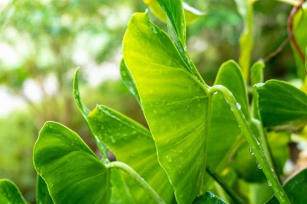 Kropelki wody na koncepcji pory deszczowej zielonych liści