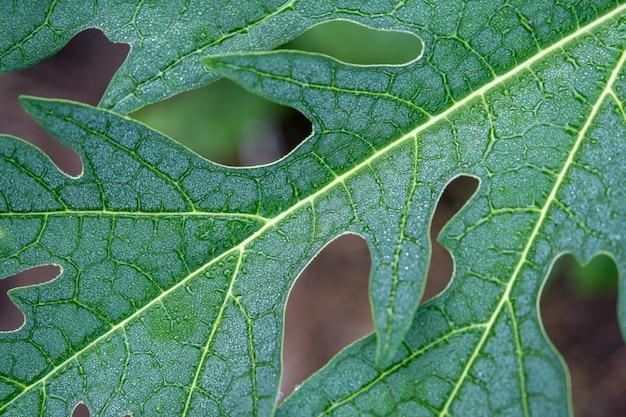 Kropla deszczu na liściu papai