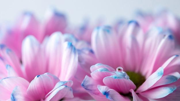 Kropla na płatkach różowych kwiatów z bliska, abstrakcyjne tło kwiatowe w delikatnych różowych i niebieskich kolorach, romantyczny nastrój