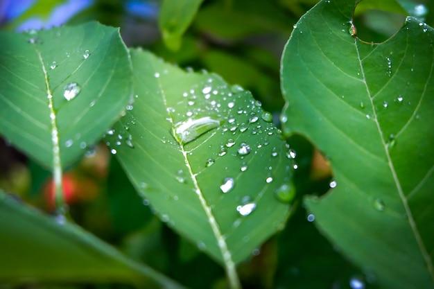 Kropla rosy rano na liściu, odświeżanie w porze deszczowej do wzrostu roślin.