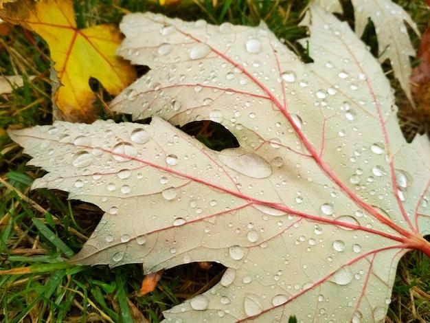 Kropla wody na liściach jesienią. krople deszczu o poranku świecą w słońcu.