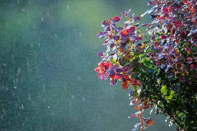 Krople ciepłego letniego deszczu spadają na jaskrawoczerwone liście berberysu