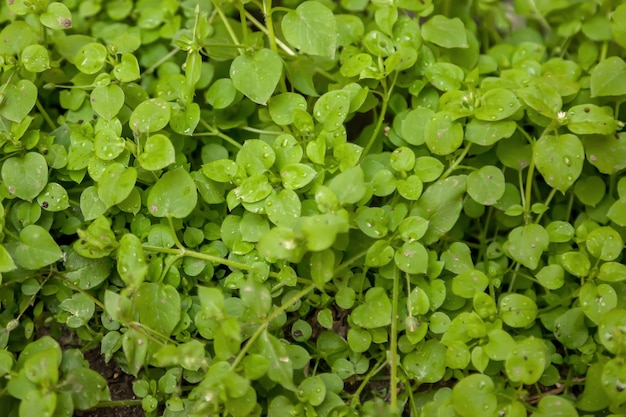 Krople deszczu lub rosy na jasnym tle zielonej trawy