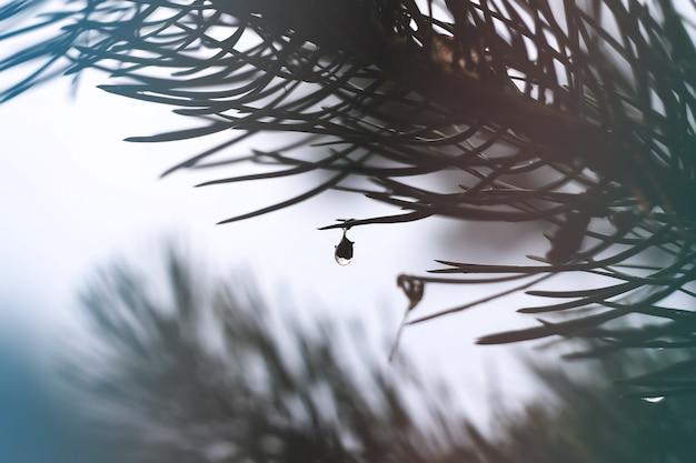Krople deszczu na gałęziach sosny