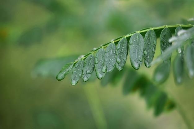 Krople deszczu na liściach drzewa szarańczy z bliska