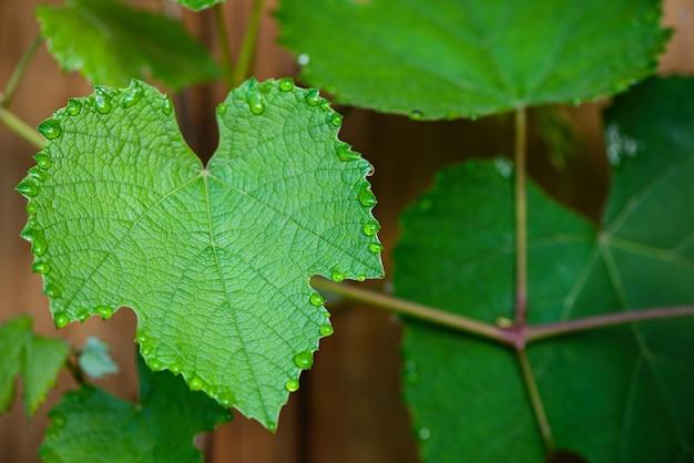 Krople deszczu na liściu winogron. ścieśniać. naturalne tło.