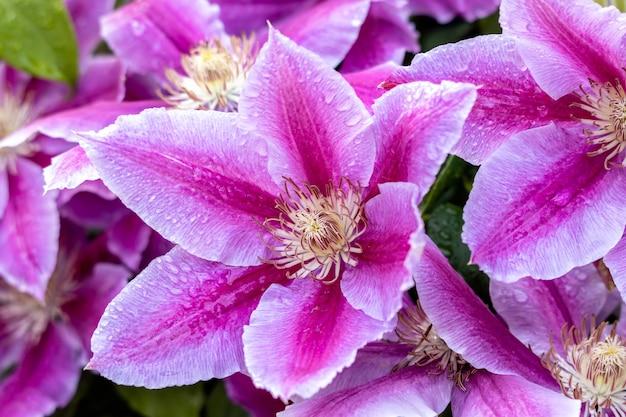 Krople deszczu na różowym powojniku kwitnącym w angielskim ogrodzie