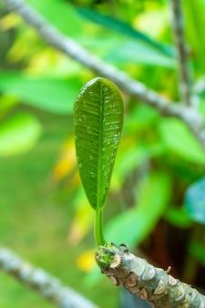 Krople deszczu na zielonym liściu plumeria w ogrodzie po deszczu.