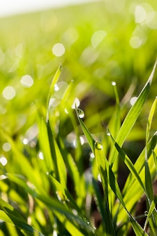 Krople deszczu wiszące na końcach i wierzchołkach zielonej trawy
